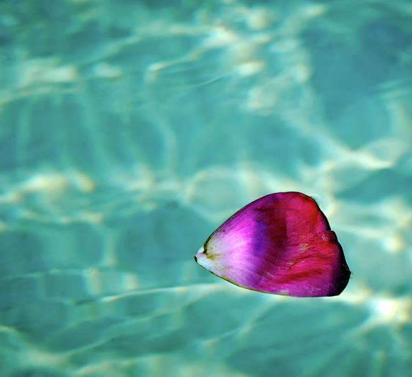 Horizontal Poster featuring the photograph Rose Petal Floating On Water by Gerard Plauche