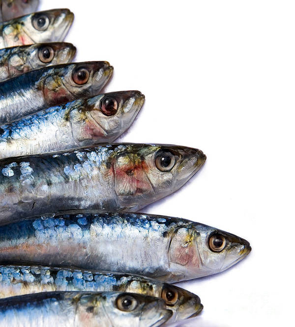 Animal Poster featuring the photograph Sardines by Jane Rix