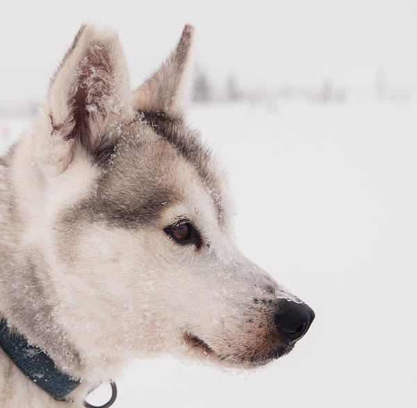Horizontal Poster featuring the photograph Siberian Husky With Snow by Eva Mårtensson
