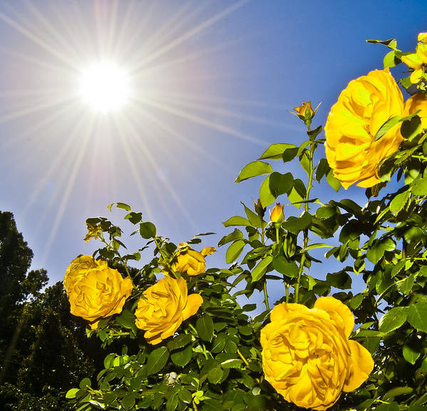 Sunflare Poster featuring the photograph Sunflare And Yellow Roses by Amber Flowers