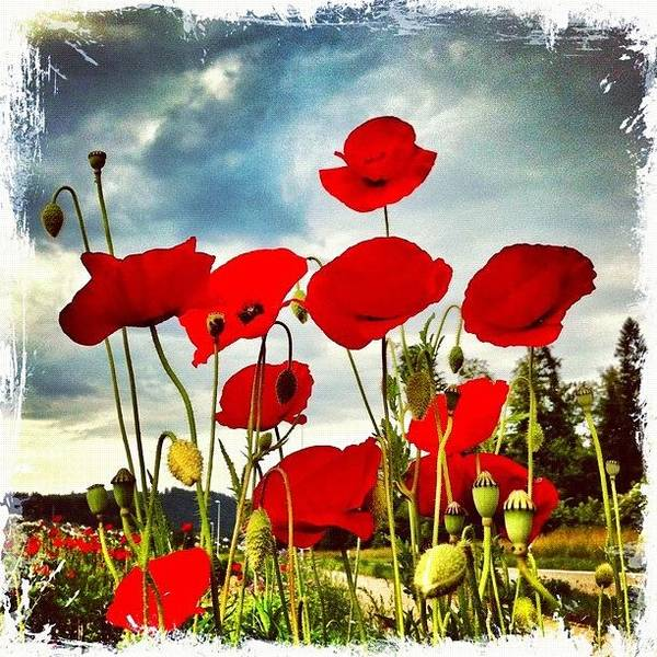 Poppyart Poster featuring the photograph The Poppy Family by Urs Steiner