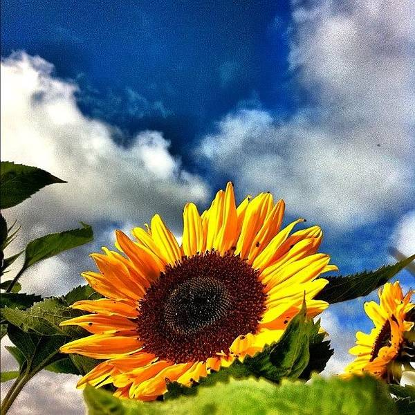 Instanature Poster featuring the photograph The Sunflowers Are About To Arrive by Urs Steiner