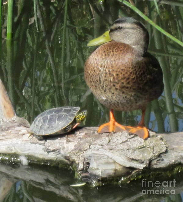 Turtle And Duck Poster featuring the photograph You Talking To Me by Vi Brown