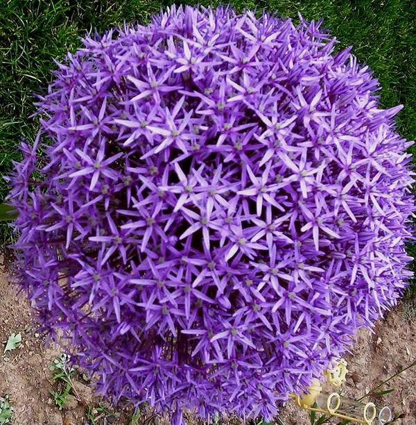 Flower Poster featuring the photograph Purple Globe by Jeanette Oberholtzer