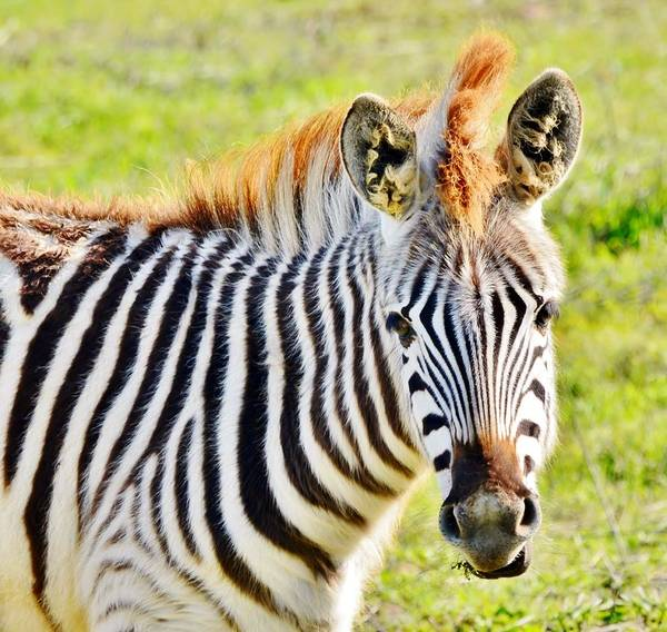 Zebra Poster featuring the photograph Redhead... by Werner Lehmann