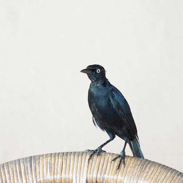 Caribgrackle Poster featuring the photograph A Carib Grackle (quiscalus Lugubris) On by John Edwards