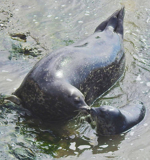 Harbor Seal Poster featuring the photograph A Mama's Love by Sandra O'Toole