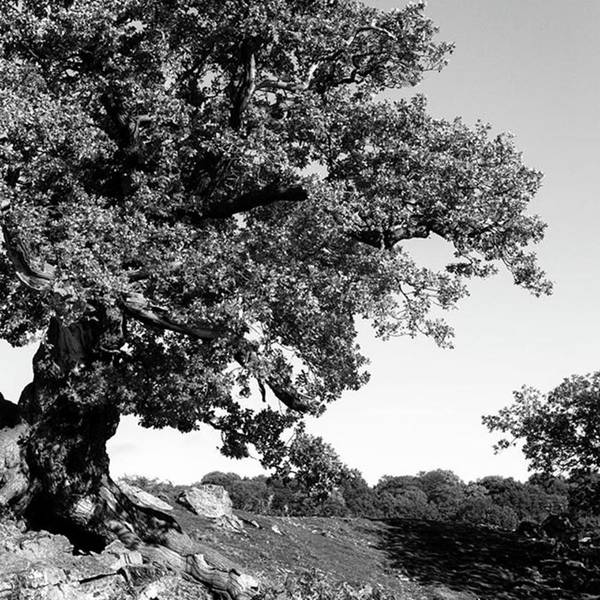 Woodland Poster featuring the photograph Ancient Oak, Bradgate Park by John Edwards