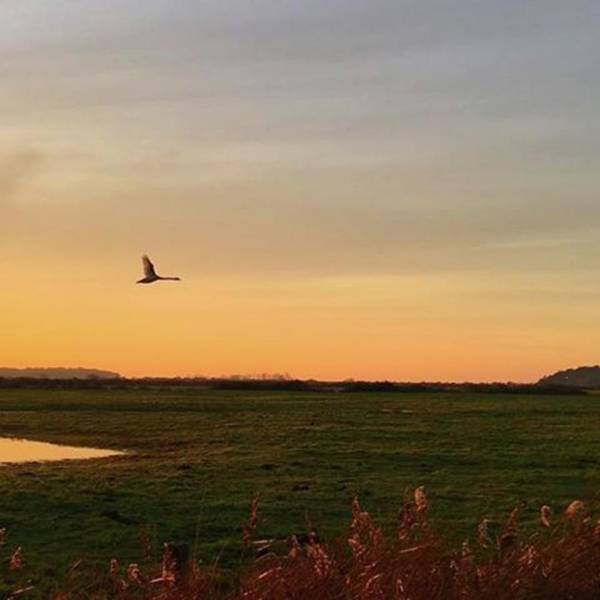 Natureonly Poster featuring the photograph Another Iphone Shot Of The Swan Flying by John Edwards