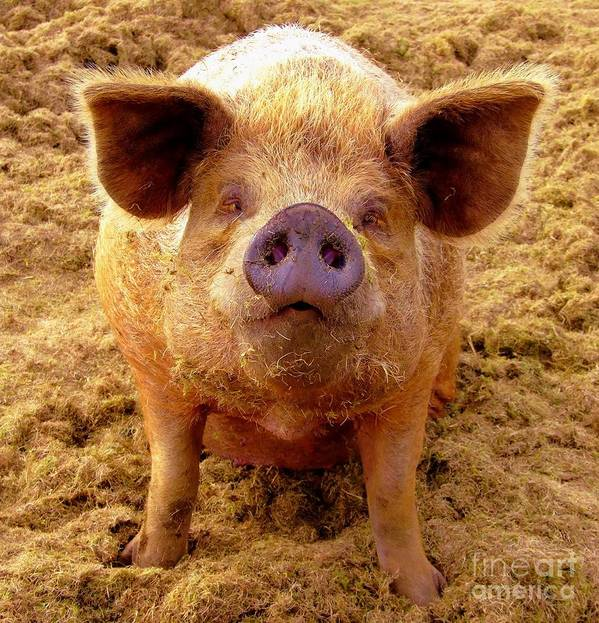 Pig Poster featuring the photograph Are You Lookin' At Me? by Lamont Finnigan