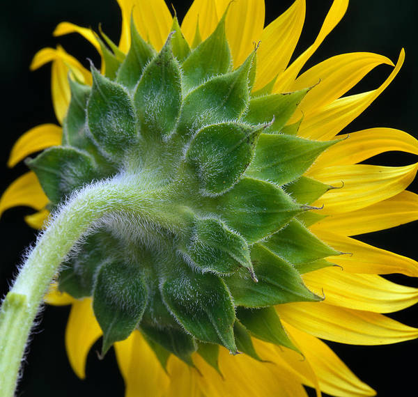 Sunflower Poster featuring the photograph Back Of Sunflower by Bob Neiman