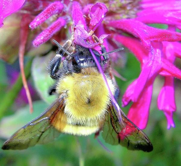 Bees Poster featuring the photograph Bee On Bee Balm by Randy Rosenberger