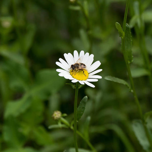 Animal Poster featuring the photograph Bee on daisy by Adrian Bud
