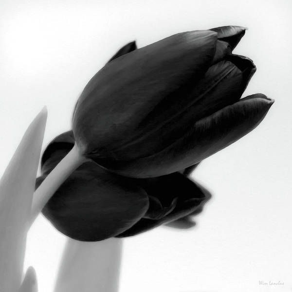Tulips Poster featuring the photograph Black Tulips by Wim Lanclus