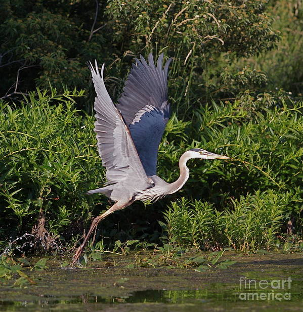 Bird Of Prey Bird Poster featuring the photograph Blue Heron by Robert Pearson
