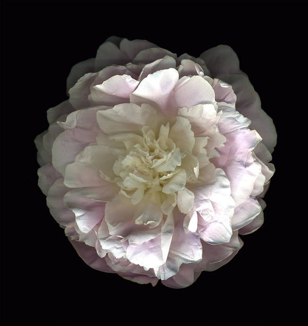 Scanography Poster featuring the photograph Blush Peony Open by Deborah J Humphries