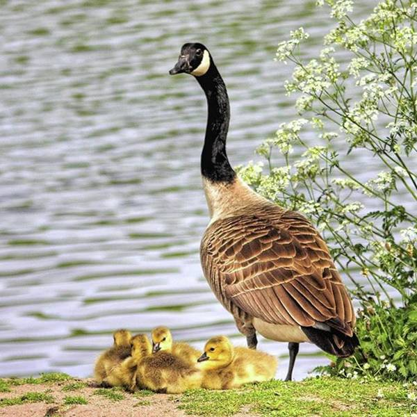 Geese Poster featuring the photograph Branta Canadensis  #canadagoose by John Edwards
