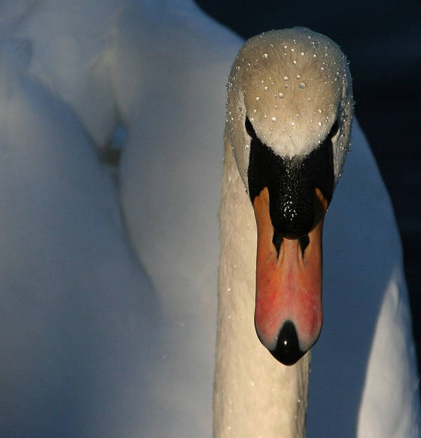 Swan Poster featuring the photograph Brooklyn Swan by Jason Hochman