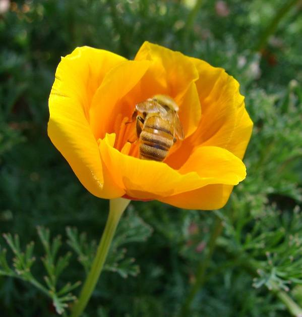 Bee Poster featuring the photograph California Poppy And Honey Bee by Liz Vernand