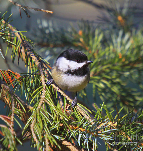 Additional Tags: Poster featuring the photograph Chickadee-12 by Robert Pearson