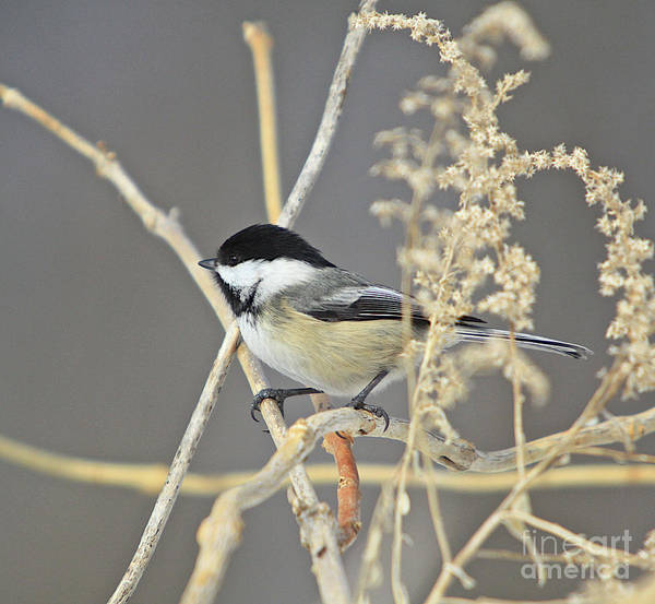Additional Tags: Poster featuring the photograph Chickadee-8 by Robert Pearson