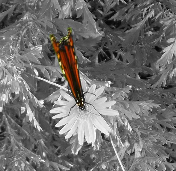 Butterflies Poster featuring the photograph Cliff House Butterflies Lll by Heather Weikel