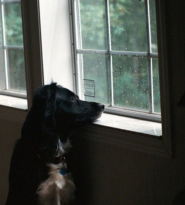 Border Collie Poster featuring the photograph Come Home Soon by Rebecca McAllister