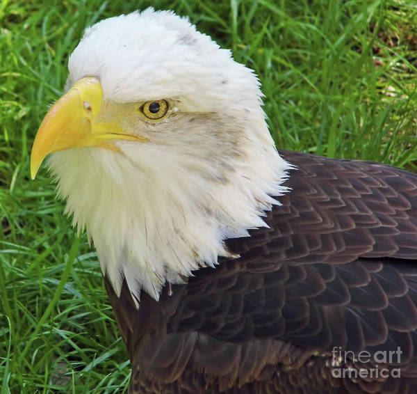 Bald Eagle Poster featuring the photograph Eagle Eye by D Hackett