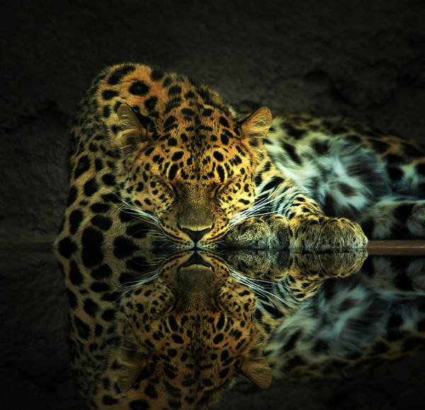 Leopard Poster featuring the photograph Endangered by Gene Praag