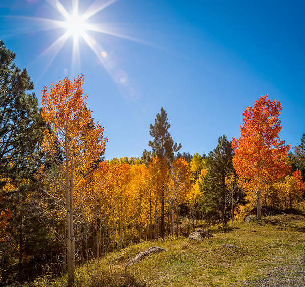 Aspens Poster featuring the photograph Fall Trees by Jon Manjeot