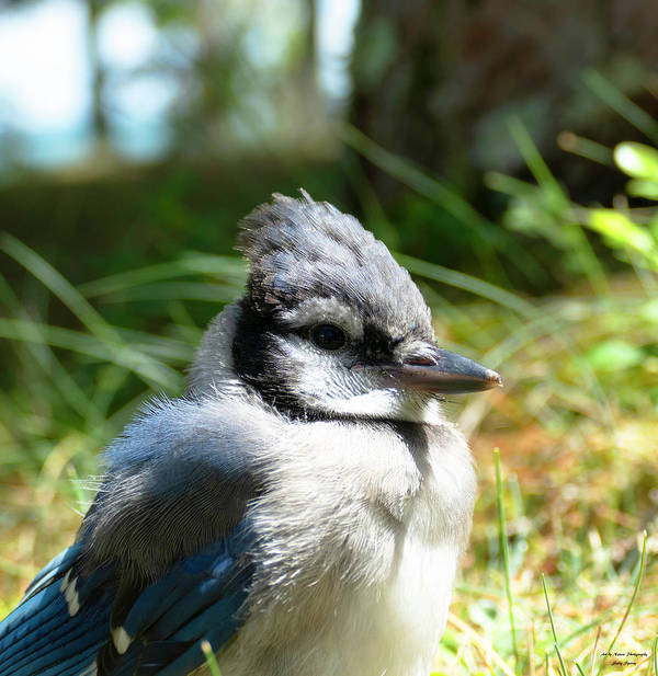 Bluejay Poster featuring the photograph Fledgling by Sally Sperry