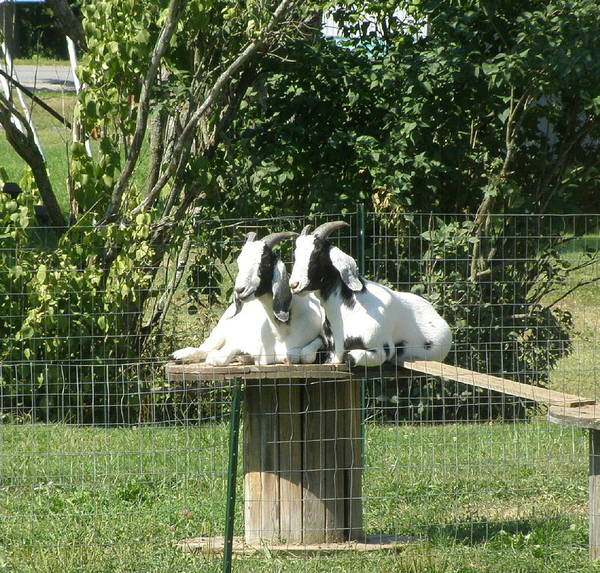 Animals Poster featuring the photograph Goats Dreaming Of Trouble by Jeanette Oberholtzer