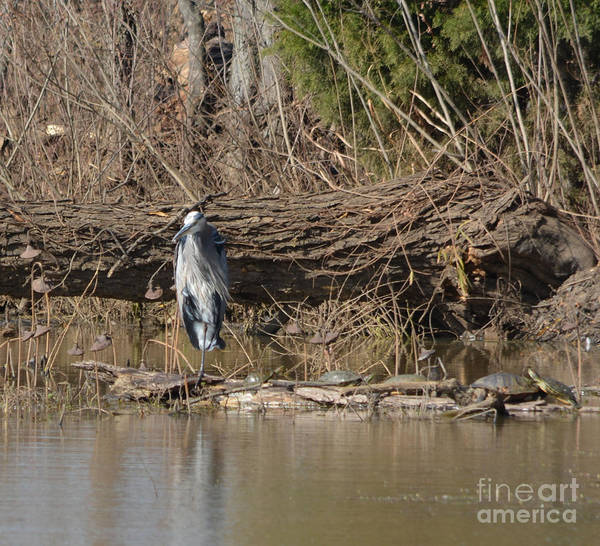 Great Heron And Turtles Prints Poster featuring the photograph Great Heron And Turtles by Ruth Housley