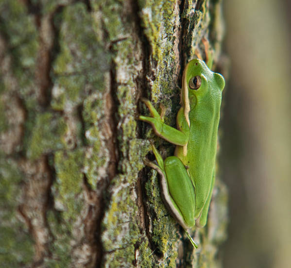 Green Poster featuring the photograph Green Tree Frog Thinking by Douglas Barnett