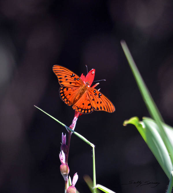 Gulf Fritillary Poster featuring the pyrography Gulf Fritillary Butterflyl by Sally Sperry