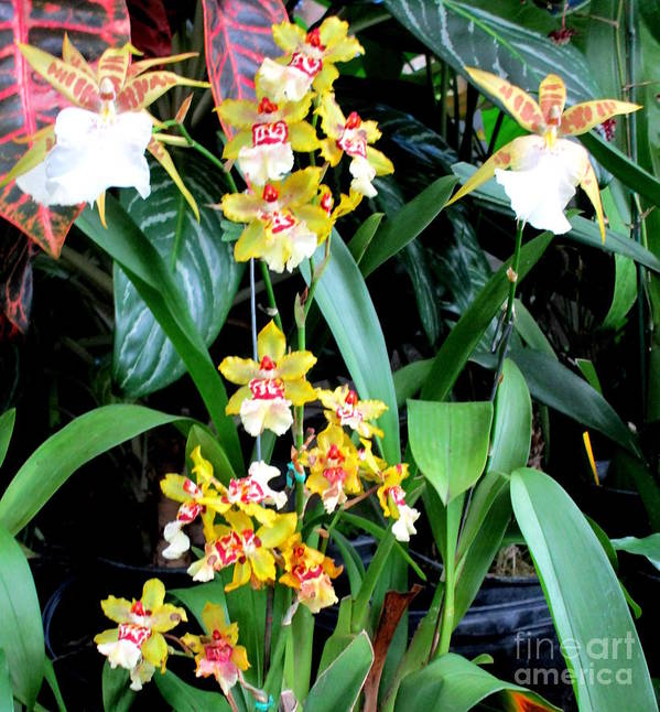 Orchid Poster featuring the photograph Hawaiian Orchid 36 by Randall Weidner