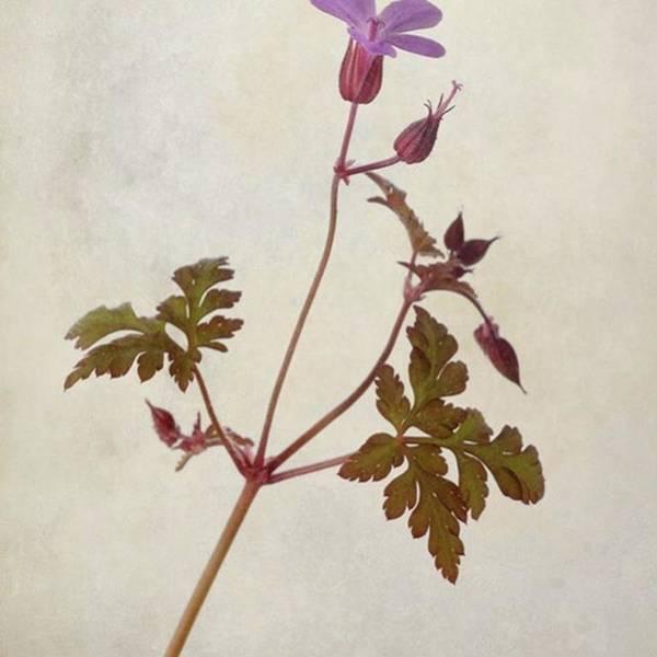 Beautiful Poster featuring the photograph Herb Robert - Wild Geranium  #flower by John Edwards