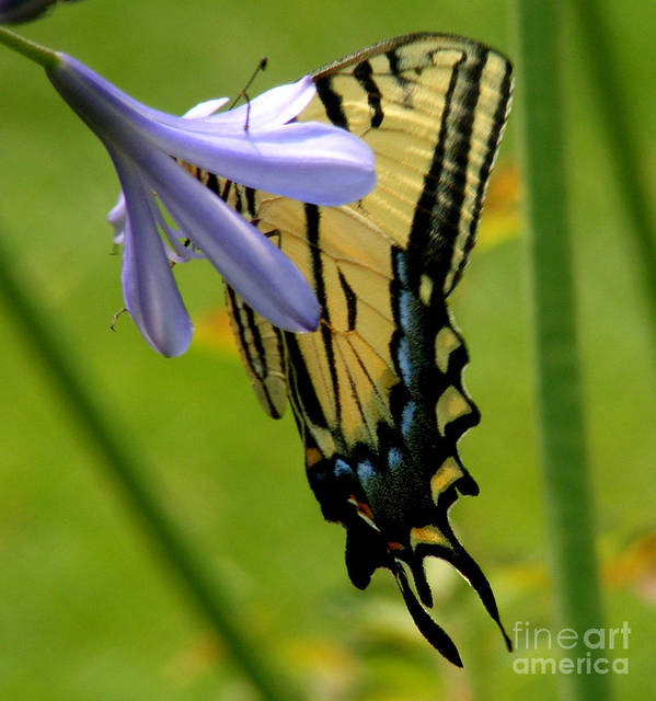 Butterfly Poster featuring the photograph Hidden Beauty by Gail Salitui