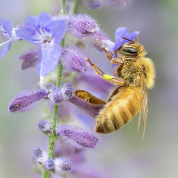 Apidae Poster featuring the photograph Honey bee 2 by Jim Hughes
