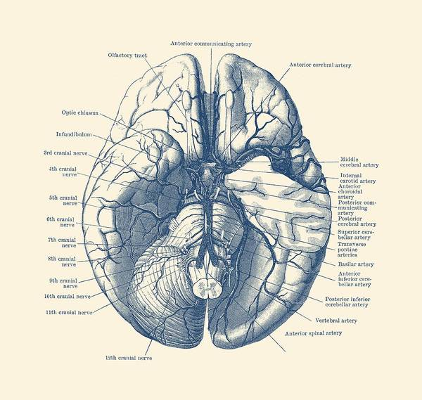Human Brain Diagram - Anatomy Poster Poster by Vintage ...