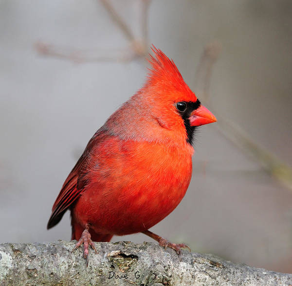 Male Cardinal Poster featuring the photograph I Am Beautiful by Diane Giurco
