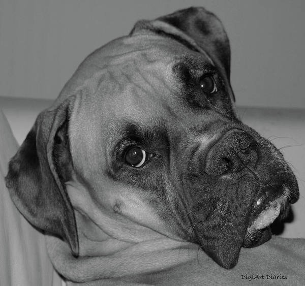 Boxer Poster featuring the digital art Is This Necessary by DigiArt Diaries by Vicky B Fuller