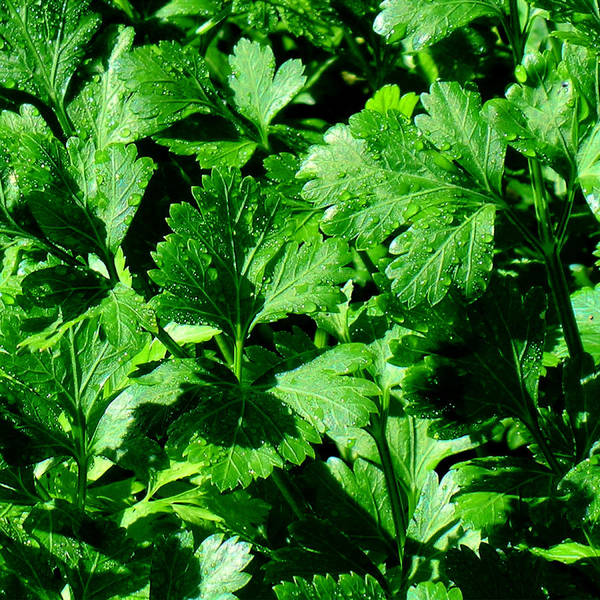 Italian Parsley Poster featuring the photograph Italian Parsley by James Temple