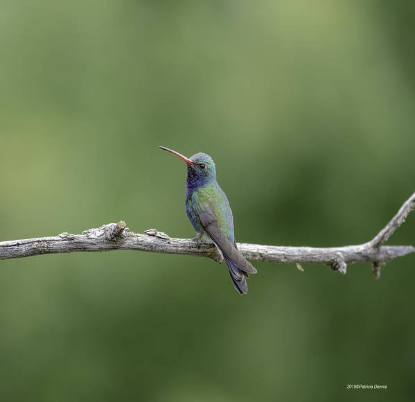Broadbill Hummingbird Poster featuring the photograph Jewel Of The Sky by Patricia Dennis