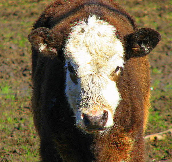 Cow Poster featuring the photograph Just A Cow by Kathy Roncarati