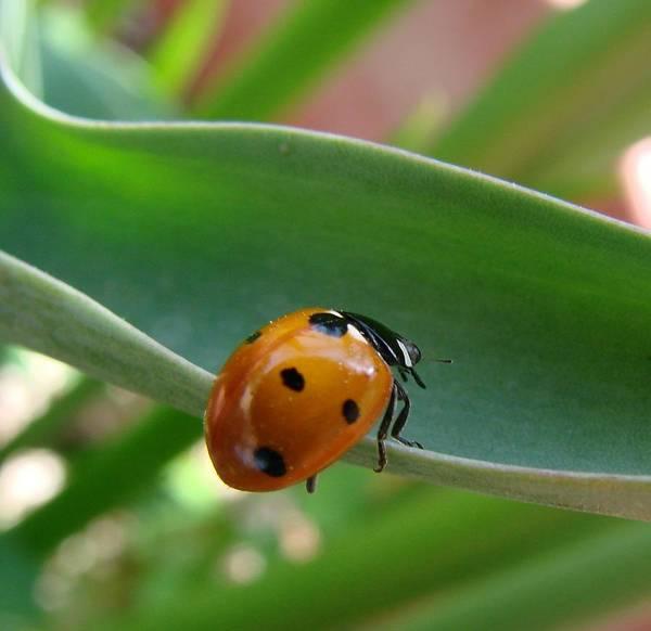 Ladybug Poster featuring the photograph Ladybug by Liz Vernand
