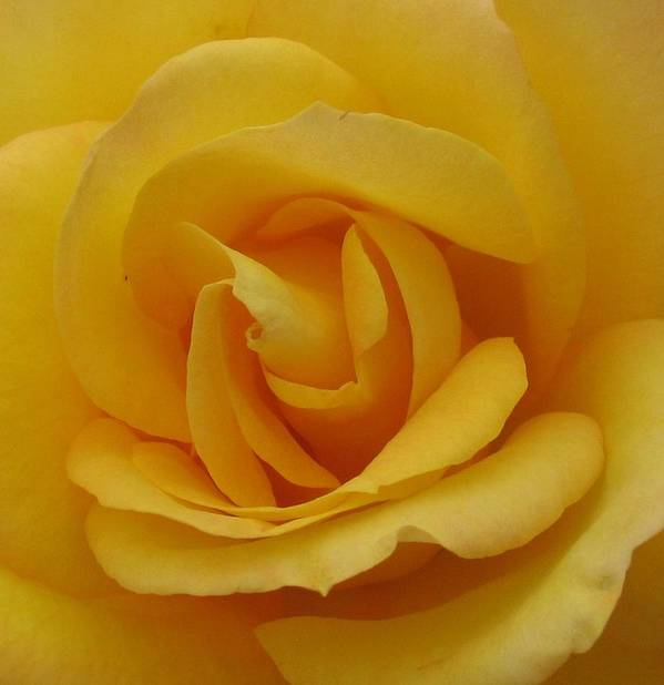 Rosr Poster featuring the photograph Layers Of Petals by Kathy Roncarati
