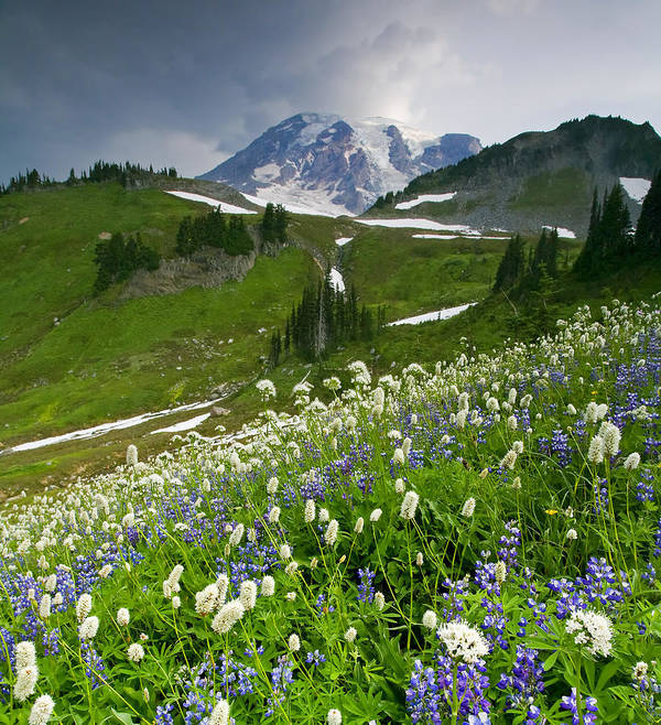 Rainier Poster featuring the photograph Lupine Storm by Mike Dawson