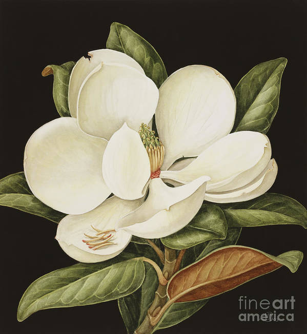 Still-life Poster featuring the painting Magnolia Grandiflora by Jenny Barron