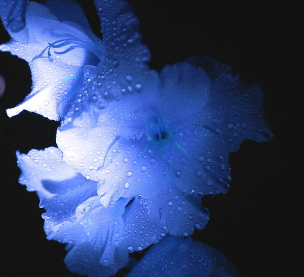 Flower Poster featuring the photograph Midnite Aroma Blue by Debbie May